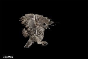 Mocho-galego | Little Owl (Athene noctua)