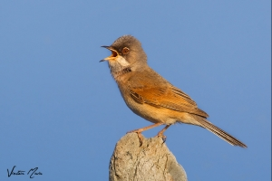 Papa-amoras | Whitethroat (Sylvia communis)