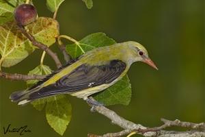 Papa-figos (oriolidae)