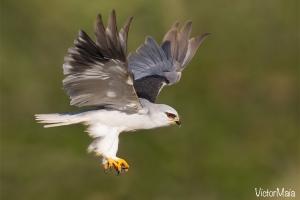 Peneireiro-cinzento | Black-winged Kite (Elanus caeruleus)