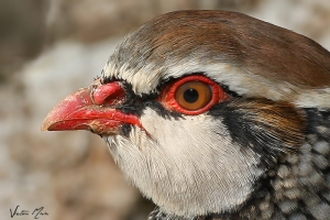 Perdiz   Red-Legged Partridge (Alectoris rufa)