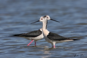 Pernilongo | Black-winged Stilt (Himantopus himantopus)