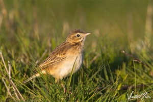 Petinha-de-Richard | Richard's Pipit (Anthus richardi)