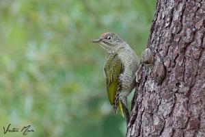 Peto-verde (Picus viridis)