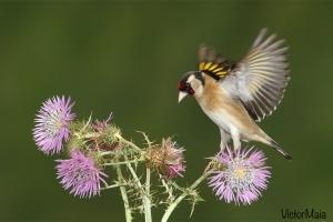 Pintassilgo | European Goldfinch (Carduelis carduelis)