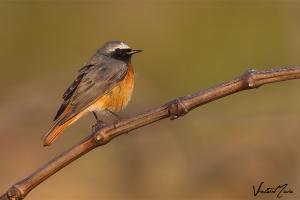 Rabirruivo-de-testa-branca | Common Redstart (Phoenicurus phoenicurus)