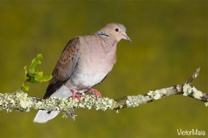 Rola-brava | Turtle Dove (Streptopelia turtur)