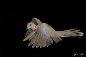Rola-turca   Eurasian Collared Dove (Streptopelia decaocto)