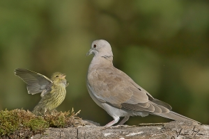Rola-turca | Eurasian Collared Dove (Streptopelia decaocto)