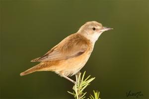 Rouxinol-grande-dos-caniços / Great Reed Warbler (Acrocephalus arundinaceus)