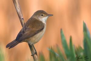 Rouxinol-pequeno-dos-caniços | Reed Warbler (Acrocephalus scirpaceus)