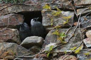Gralha-de-nuca-cinzenta (Corvos monedula)
