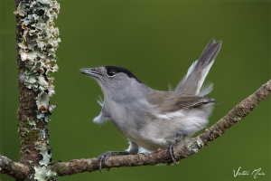 Toutinegra-de-barrete (Sylvia atricapilla)
