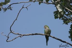 Periquito-monge | Monk Parakeet (Myiopsitta monachus)