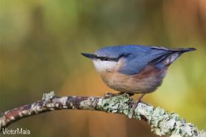 Trepadeira-azul | Nuthatch (Sitta europaea)