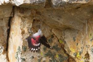Trepa-fragas | Wallcreeper (Tichodroma muraria)