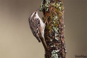 Trepadeira | Short-toed Treecreeper (Certhia brachydactyla)
