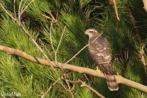 Açor (Accipiter gentilis)