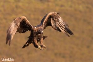 Águia-real (Aquila chrysaetos)