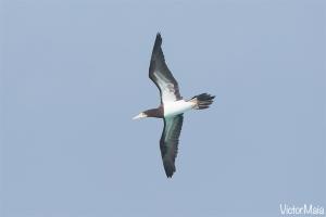 Alcatraz-Pardo (Sula leucogaster)