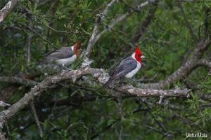 Cardenal común (Paroaria coronata)