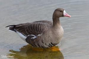 Ganso-grande-de-testa-branca - Greater White-fronted Goose - Anser albifrons
