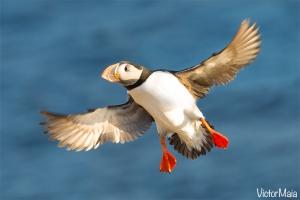 Papagaio-do-mar (Fratercula artica)