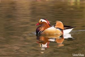 Pato-mandarim/ Mandarin Duck (Aix galericulata)