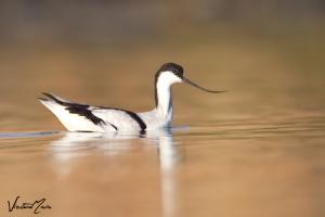 Alfaiate (Recurvirostra avosetta)