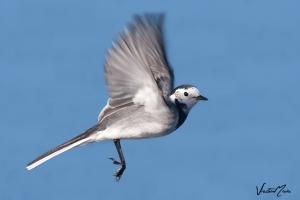 Alvéola-branca | White Wagtail (Motacilla alba)