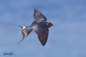 Andorinha-das-chaminés | Barn Swallow (Hirundo rustica)