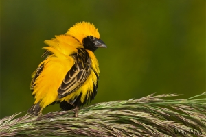 Bispo-de-coroa-amarela | Yellow-crowned Bishop (Euplectes afer)