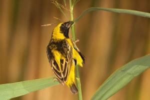 Bispo-de-coroa-amarela   Yellow-crowned Bishop (Euplectes afer)