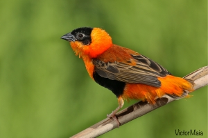 Bispo-laranja ( Euplectes franciscanus)