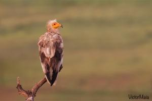 Britango | Egyptian Vulture (Neophron percnopterus)