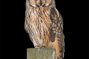 Bufo-pequeno | Long-eared Owl (Asio otus)