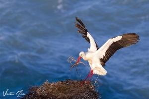 Cegonha-branca   White Stork (Ciconia ciconia)