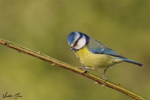 Chapim-azul | Blue Tit (Parus caeruleus)