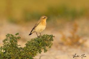 Chasco-cinzento | Northern Wheatear (Oenanthe oenanthe)
