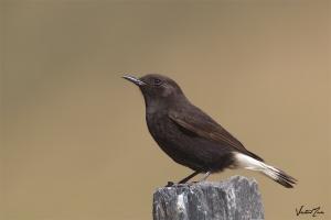 Chasco-preto (Oenanthe leucura)