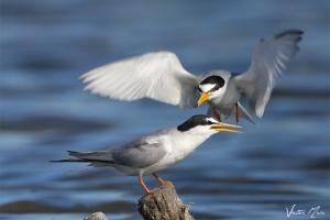 Chilreta | Little Tern (Sterna albifrons)
