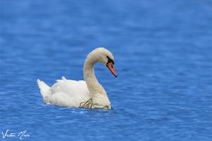 Cisne-mudo | Mute Swan (Cygnus olor)