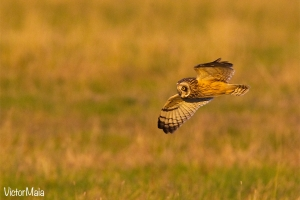 Coruja-do-nabal | Short-eared owl (Asio flammeus)