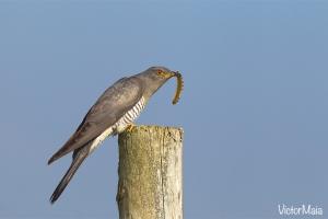 Cuco | Cuckoo (Cuculus canorus)