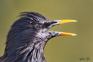 Estorninho-preto | Spotless Starling (Sturnus unicolor)