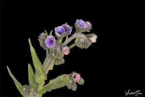 Orelha de lebre (Cynoglossum creticum)