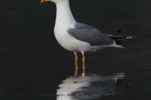 Gaivota-de-asa-escura (Larus fuscus)
