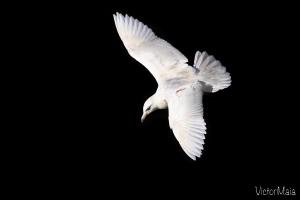 Gaivotão-branco (Larus hyperboreus)