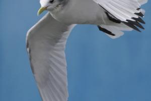 Gaivota-tridáctila | Kittiwake (Rissa tridactyla)