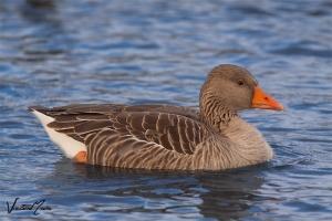 Ganso-bravo   Greylag Goose (Anser anser)